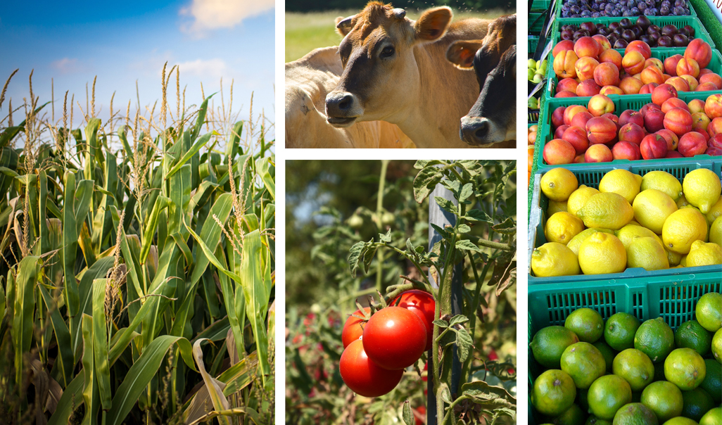Compilation of agriculture photos. From left to right: corn growing in a field, cows in a pasture, tomatoes growing on the vine, and plums, peaches, lemons, and limes sorted into bins to be sold at market.